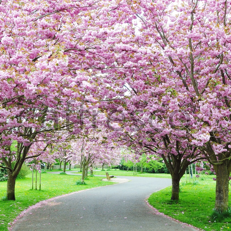 ID13410 | Pictures of Nature  | Blossoming trees in park | Affresco Factory