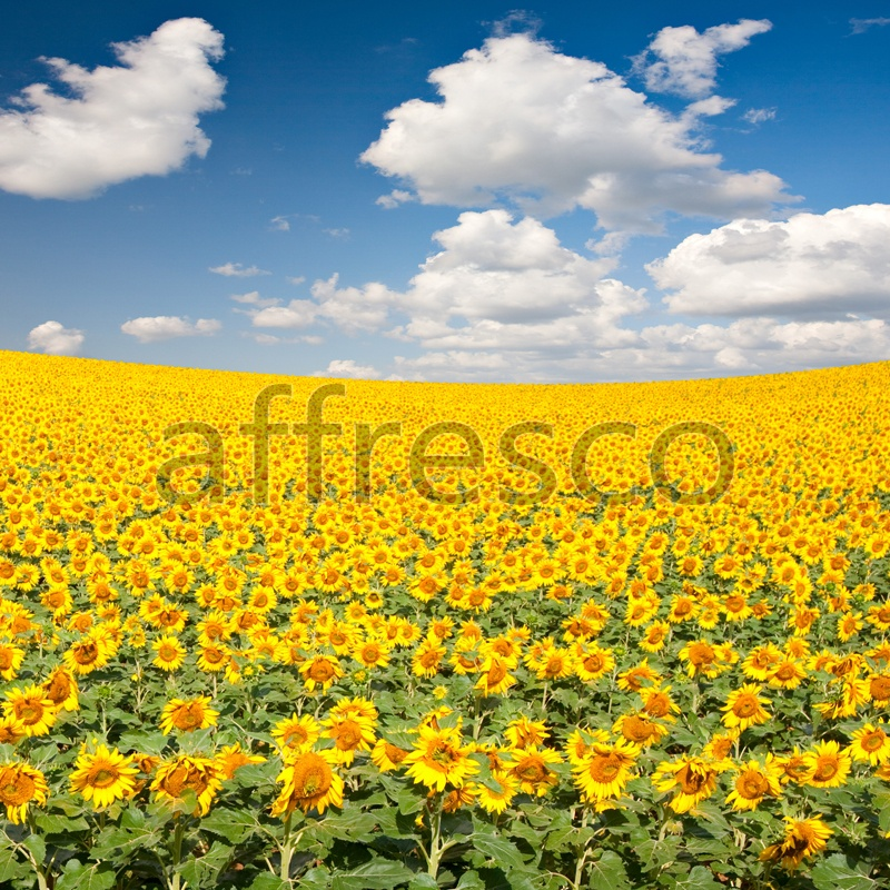 ID13441 | Pictures of Nature  | Sunflowers | Affresco Factory